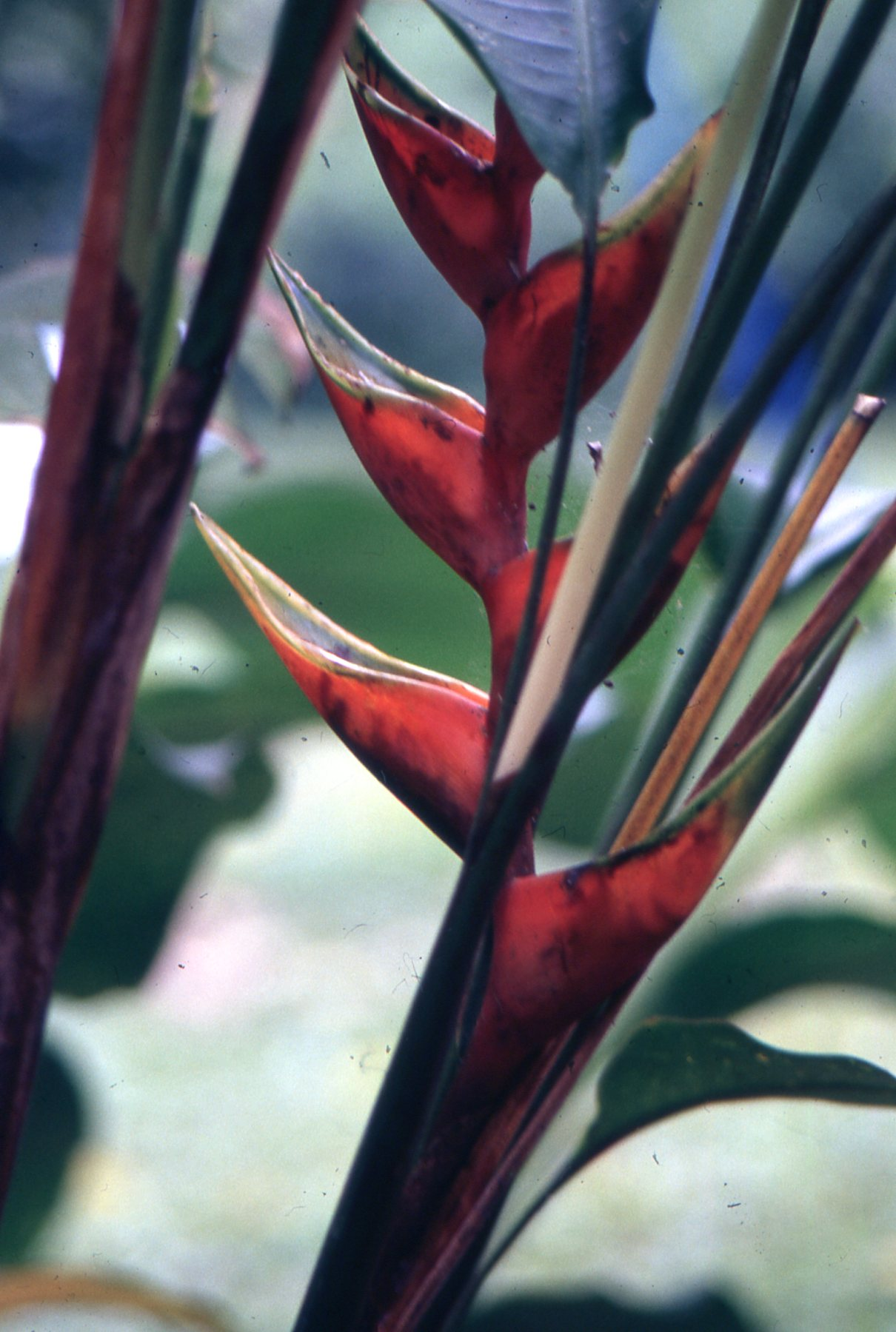 The grounds of Parrot Nest lodge are laced with vibrant flowers like this bird-of-paradise.