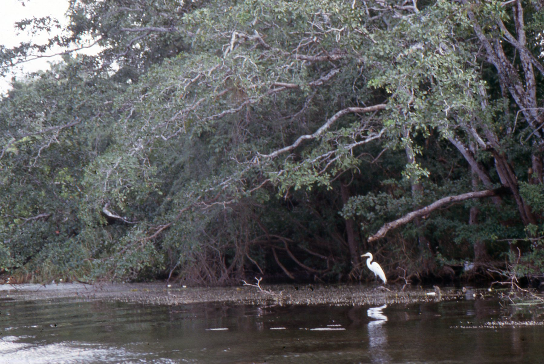 An elegant egret surveys the lonely stretches of the overgrown New River.