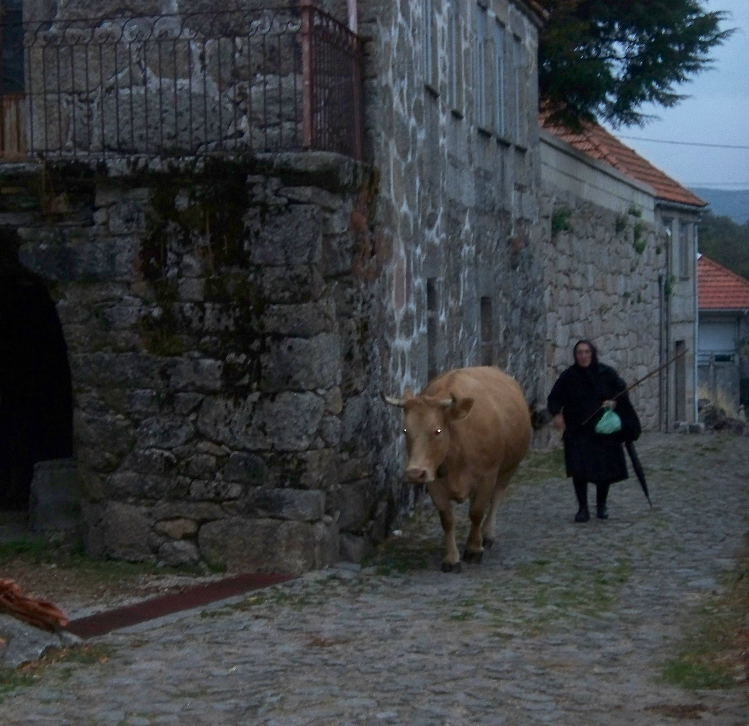 Dusk in Castro Laboreiro brings all the animals home.